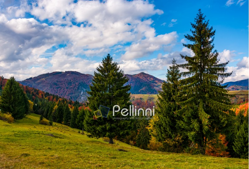 mountains with colorful foliage forest few spruce trees in front on the meadow. great autumnal landscape in fine weather and clouds on blue sky