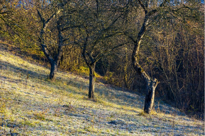 naked apple trees in orchard at sunrise. grassy hill in morning hoar. dull and boring scene of late autumn nature