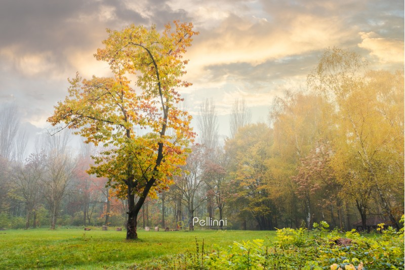 oak tree in yellow foliage on the grassy meadow. mysterious autumn scenery in the foggy park