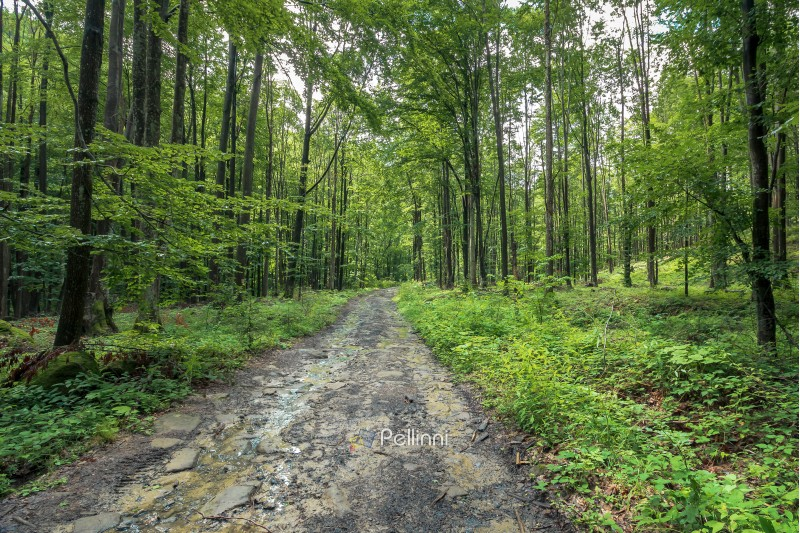 old dirt road through forest. wet foliage, puddle after the rain. travel background. summer nature scenery