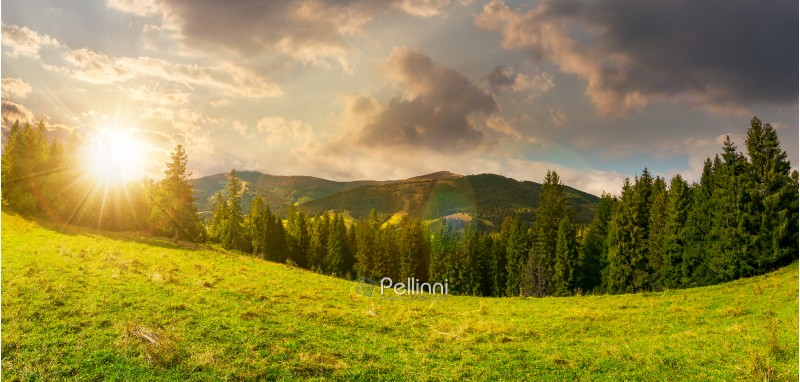 panorama of alpine forest glade at sunset. beautiful early autumn landscape in Carpathian mountains. joyful vacation in wilderness