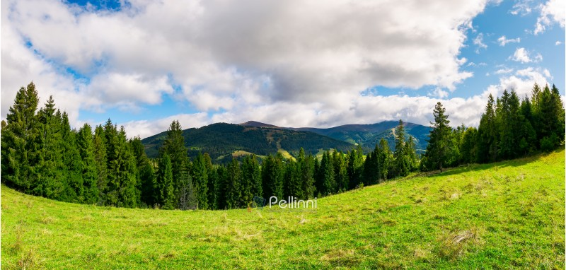 panorama of alpine meadow in forest on hill. beautiful early autumn landscape in Carpathian mountains. joyful vacation in wilderness