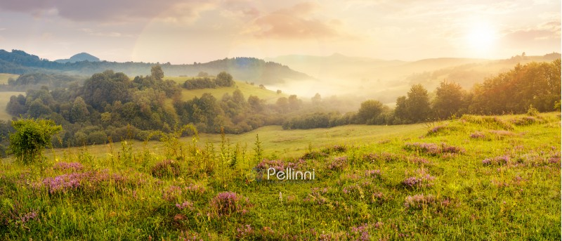 panorama of beautiful foggy sunset in mountains. purple thyme flowers on the grassy meadow. high mountain in the distance. wonderful landscape