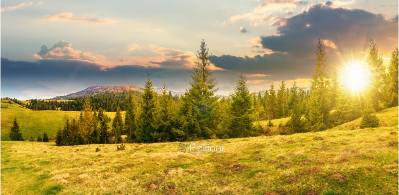 panorama of beautiful countryside in mountains at sunset in evening light. spruce trees on the meadow. top of the snow covered ridge in the distance. wonderful nature scenery