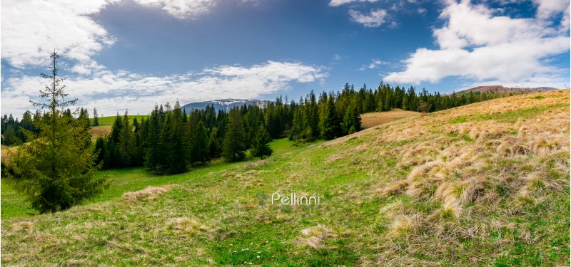 panorama of spruce forest on a hill side meadow in high mountains on a cloudy springtime day. lovely landscape of Borzhava mountain ridge in the distance