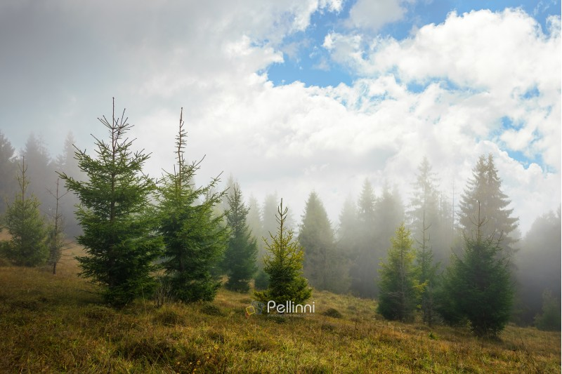 pine forest on hillside in autumn fog.  trees on a meadow with weathered grass. dramatic nature scenery with gorgeous cloudy sky