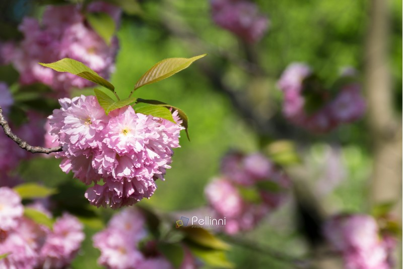 pink cherry blossom twig in the garden. wonderful nature background in spring