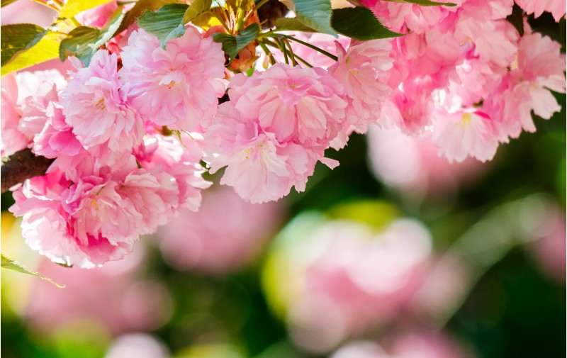 pink flowers of blossoming cherry on the branch. lovely nature scenery