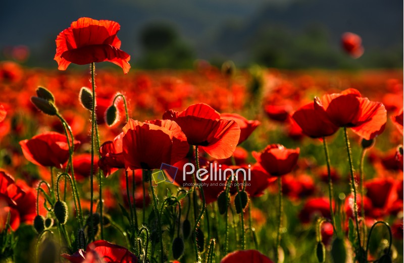 poppy flowers field. beautiful summer background