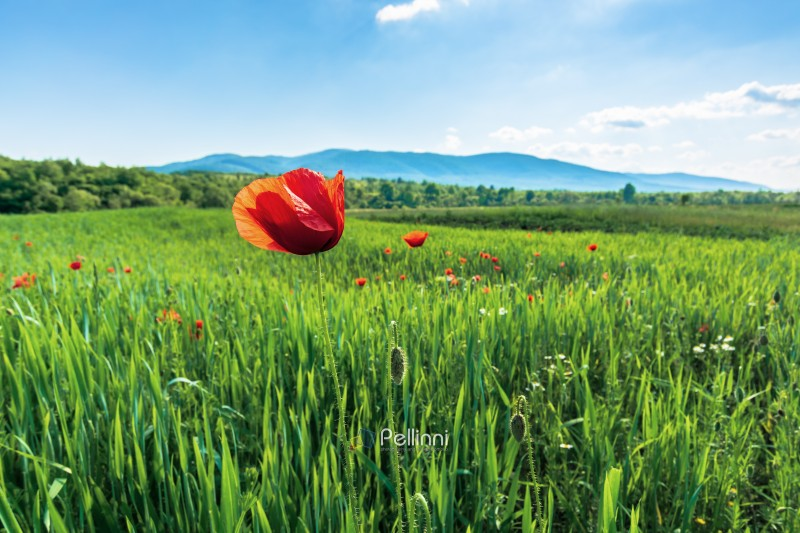poppy on a rural field in mountains. blurred background with forested hills and mountain in the distance. fleecy clouds on a bright blue sky. vivid agricultural scenery in summer