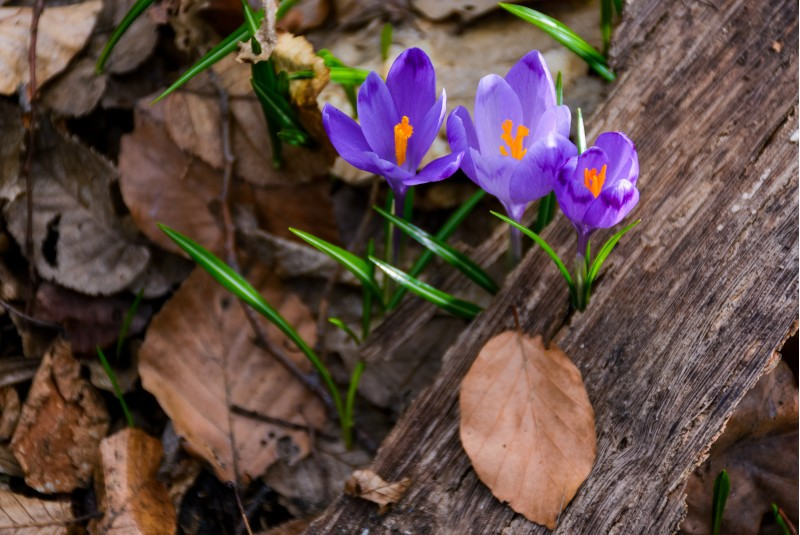 purple crocus flowers among the weathered foliage. beautiful springtime scenery in forest