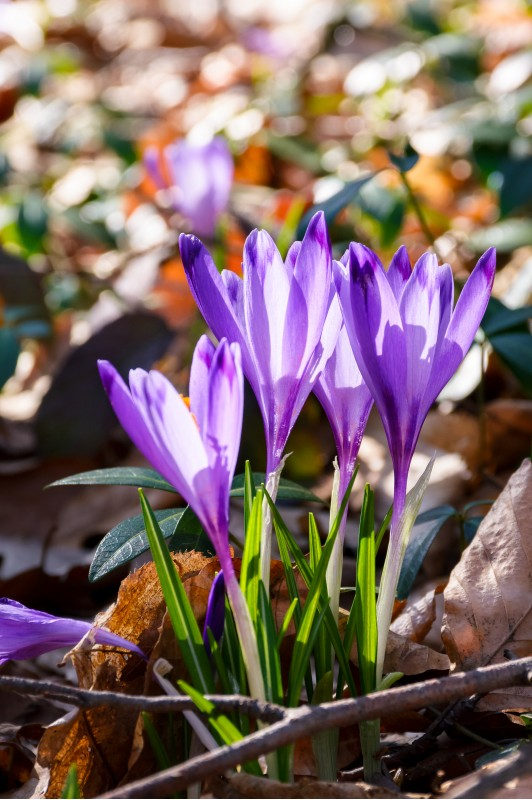 purple crocus flowers among weathered foliage in forest on a sunny day. beautiful springtime nature background