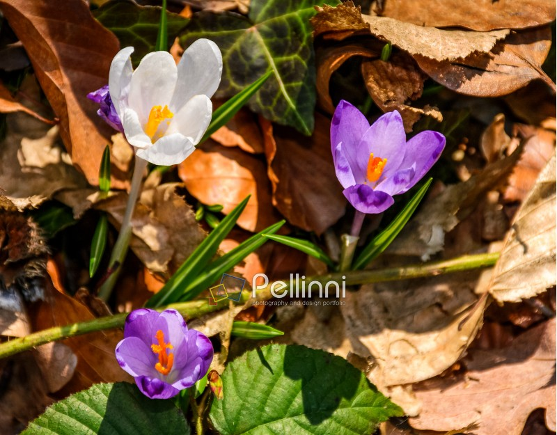 purple crocus flowers on meadow among foliage and green grass. sunny day in forest. beautiful springtime nature. top viewpoint