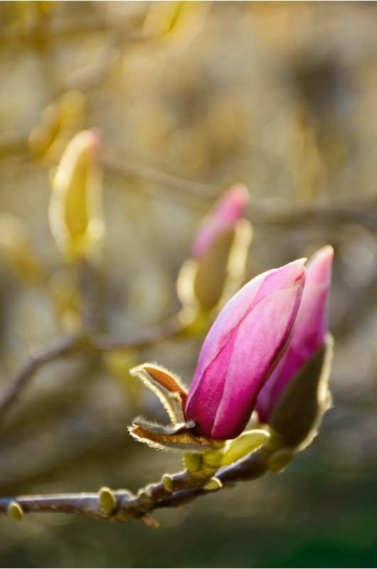 purple flowers of magnolia tree blossom. lovely springtime background on a bright day
