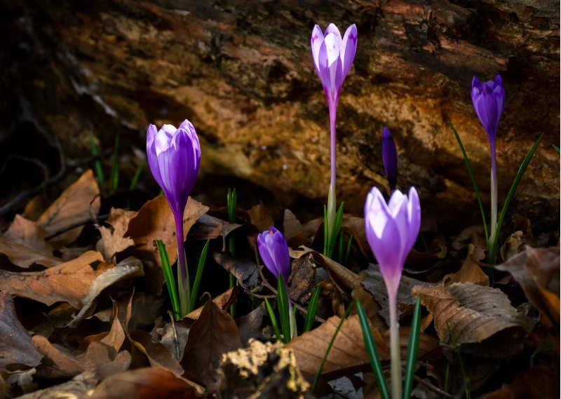 purple saffron flowers under the stump in forest. beautiful spring nature scenery.