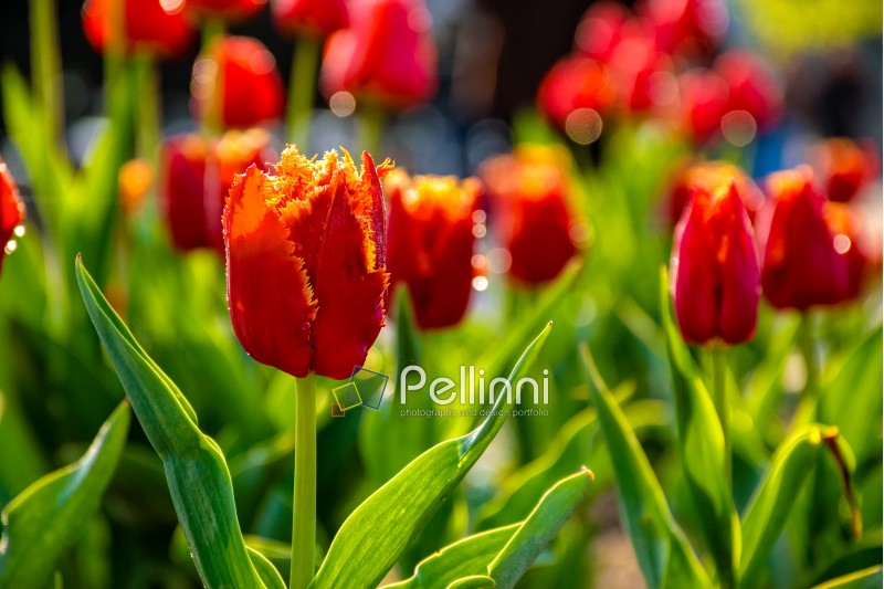 red tulips with yellow edged petals on green blurred background of gaden bokeh