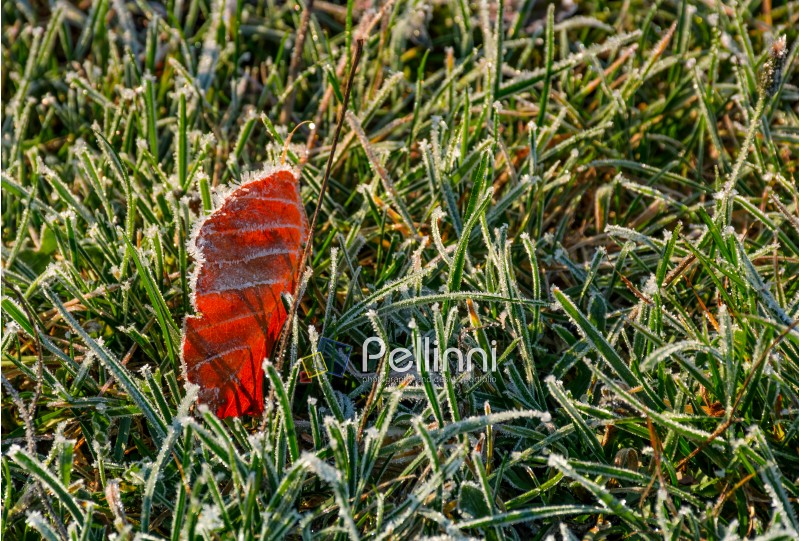 reddish leaf on ground in frosted green grass. beautiful autumnal background