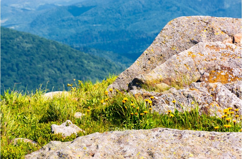 rocks on the edge of a grassy hillside. yellow dandelions among the rocks. beautiful nature scenery in mountains