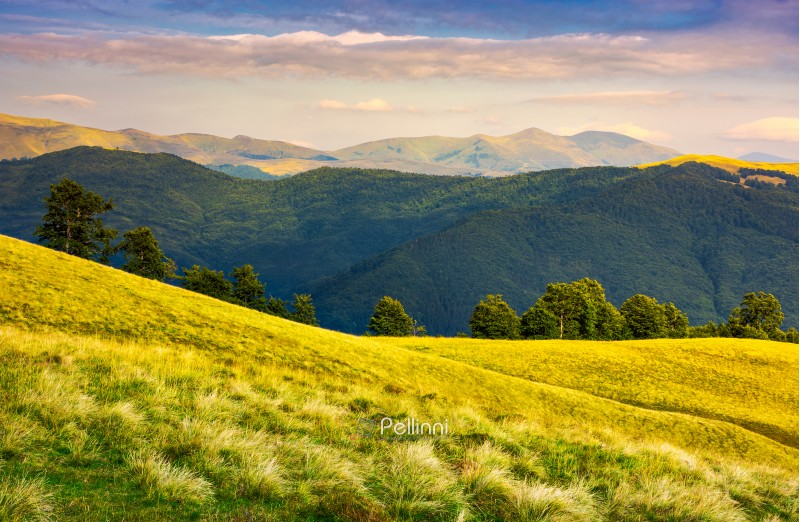 row of trees on grassy hillside in evening. Svydovets mountain ridge in the distance under  the colorful sky. beautiful landscape of Carpathian mountains