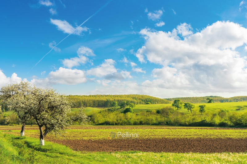 rural fields in spring. beautiful countryside. blossoming trees. wonderful landscape with grassy rolling hill in the distance. bright sunny weather with fleecy clouds on the blue sky