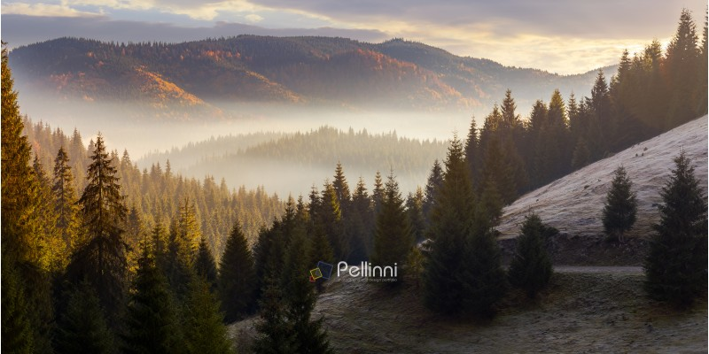 sea of fog in forested valley. gorgeous panoramic landscape in autumn mountains. spruce trees lit by rising sun