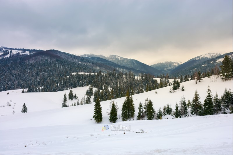 snow covered rolling hills with spruce forest. beautiful winter landscape in mountains on an overcast day