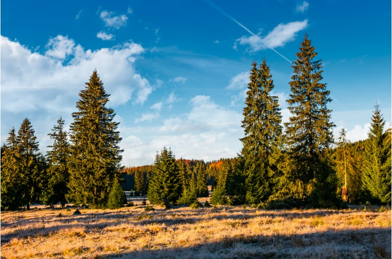 spruce forest in early morning. beautiful nature scenery of mountainous area in Apuseni natural park
