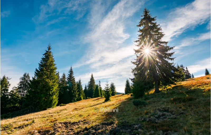 spruce forest in morning sunlight. beautiful landscape in mountains.