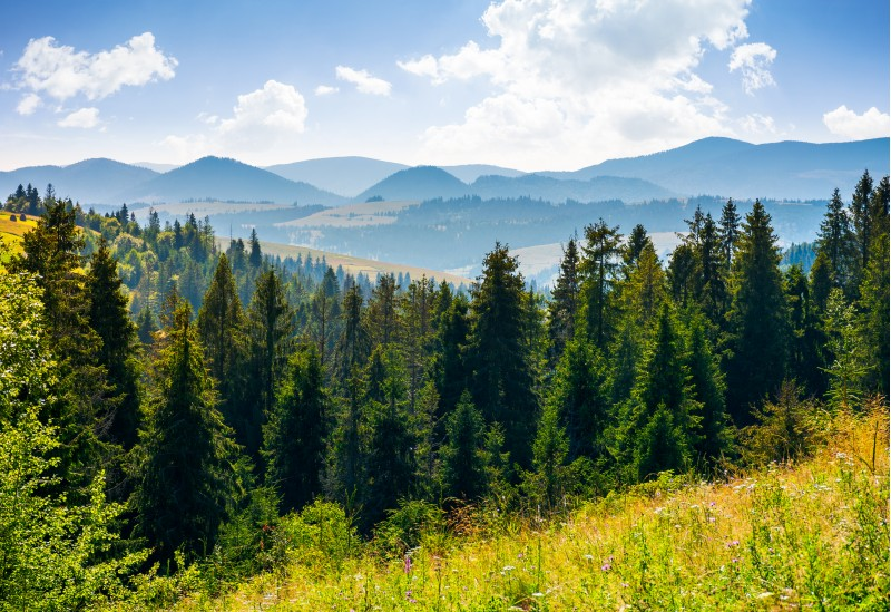 spruce forest in mountains. lovely summer landscape