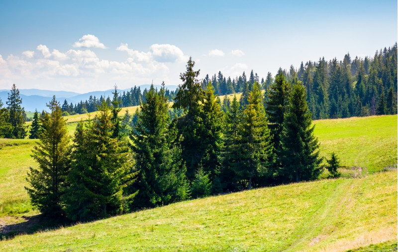 spruce forest on a grassy hillside. lovely summer scenery in mountains