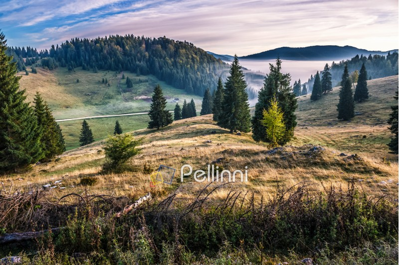 hillside with spruce forest among the fog on a meadow in mountains of Romania in morning light