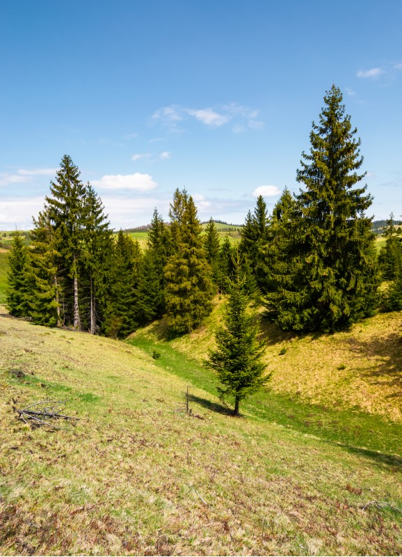 spruce forest on grassy hills. beautiful mountainous landscape in springtime on a sunny day