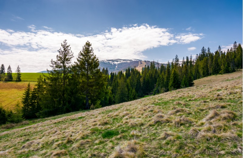 spruce forest on hills with weathered grass. lovely springtime scenery in Carpathian mountains