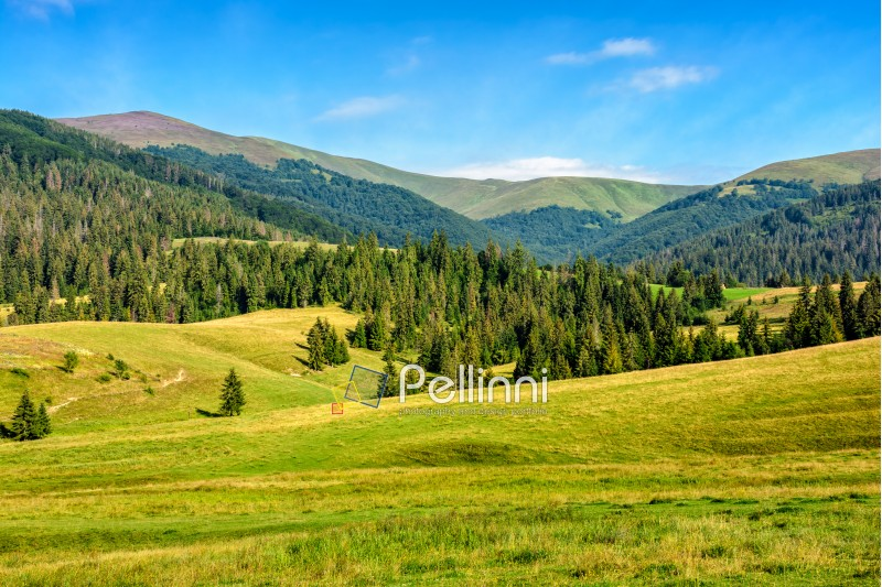 summer landscape with meadow near the spruce forest on hills in mountain area