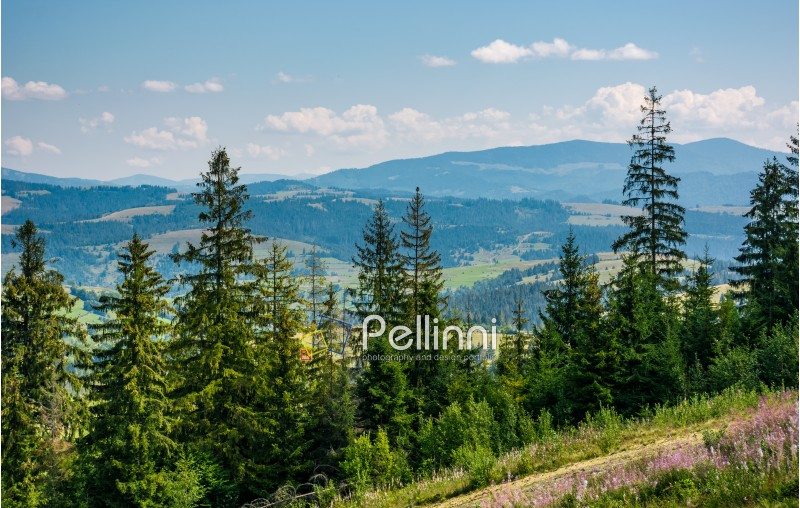 spruce forest on rolling hills. gorgeous mountain landscape in fine summer weather under blue sky with cloud