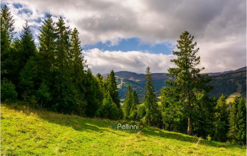 spruce forest on the grassy hillside. lovely mountainous landscape with gorgeous sky