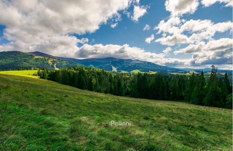 lovely autumn landscape. spruce forest on the grassy meadow. beautiful mountain ridge in the distance. wonderful cloudscape in the sky