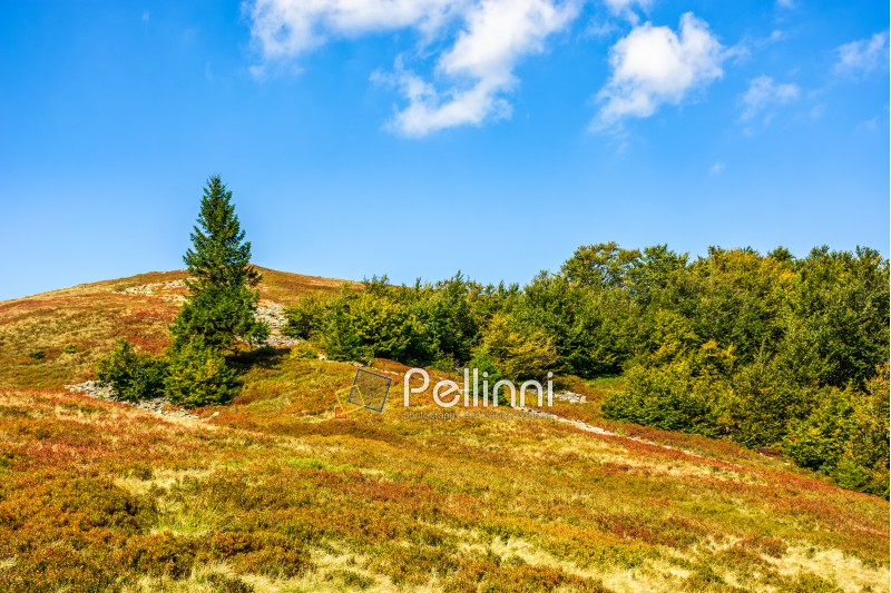 spruce tree on a hillside meadow in high mountains on a summer day