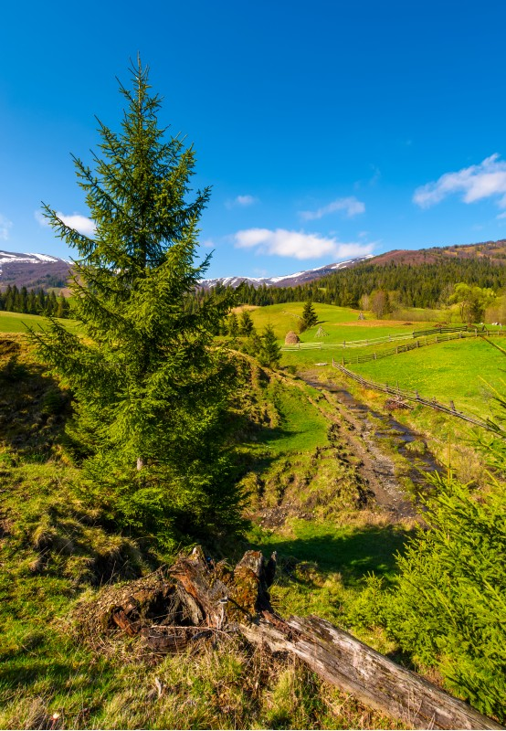spruce trees over the grassy slope. beautiful springtime landscape of rural area. wooden fence around the agricultural field. mountain ridge with snowy tops in the distance