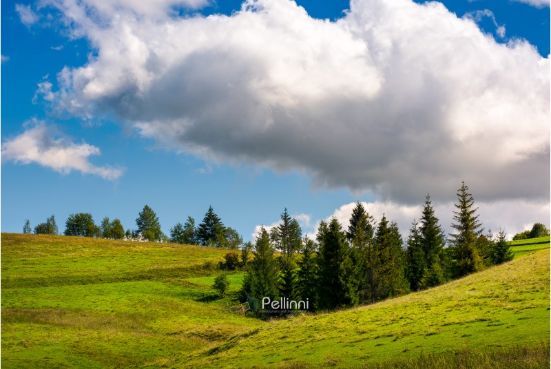 spruce woodlot on a grassy hillside. lovely nature scenery. blue sky with huge fluffy cloud