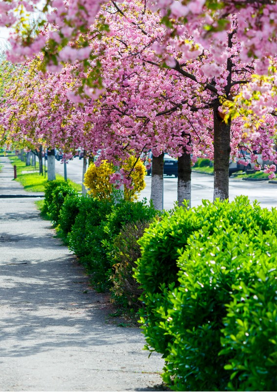 street with row of blossoming cherry trees. beautiful urban springtime scenery