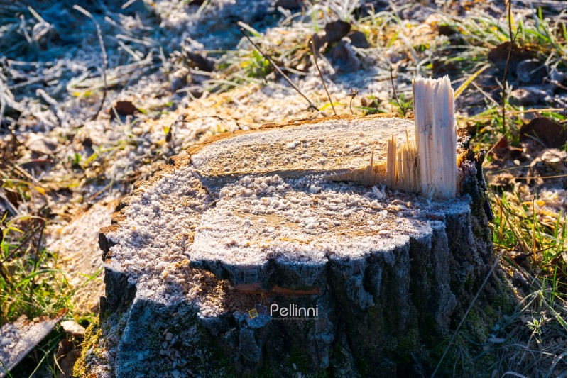 stump of fresh cutted tree with wood chips and hoar frost