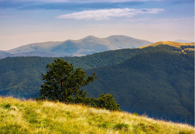 tree behind the grassy slope in high mountains. beautiful summer landscape with Svydovets ridge in the distance