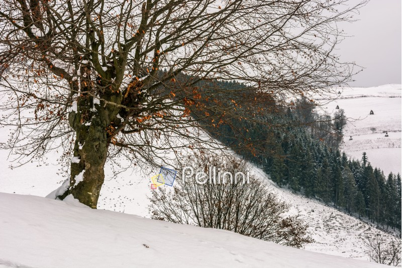 tree with red foliage on a hill side meadow covered with snow and spruce forest on the background