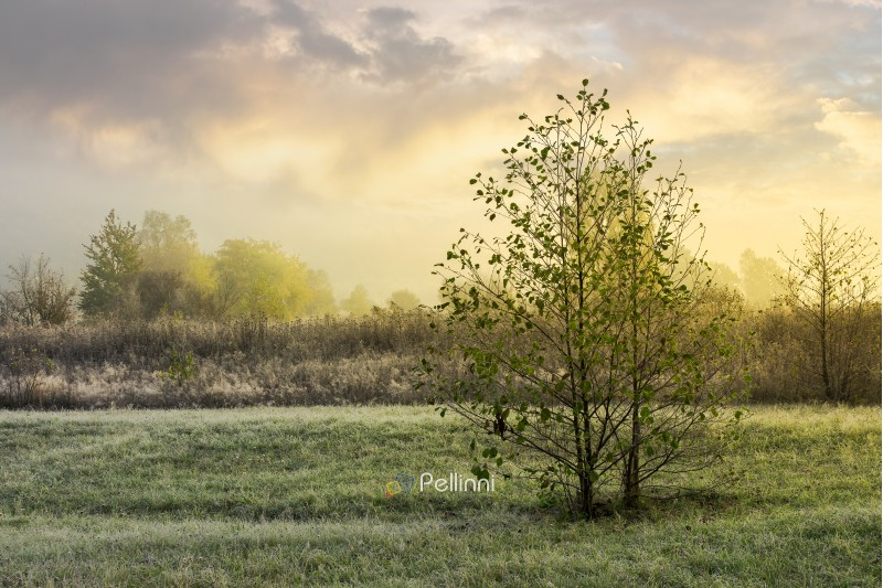 trees on the grassy meadow at sunrise. lovely countryside background of november. foggy and frosty weather