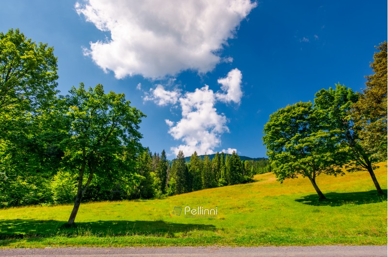trees on the grassy meadow by the road in summer. beautiful landscape with spruce forest and mountain in the distance. blue sky with fluffy cloud formation