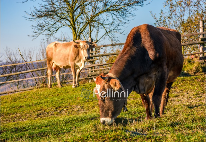two cows on pasture in autumn. lovely everyday episode of rural life