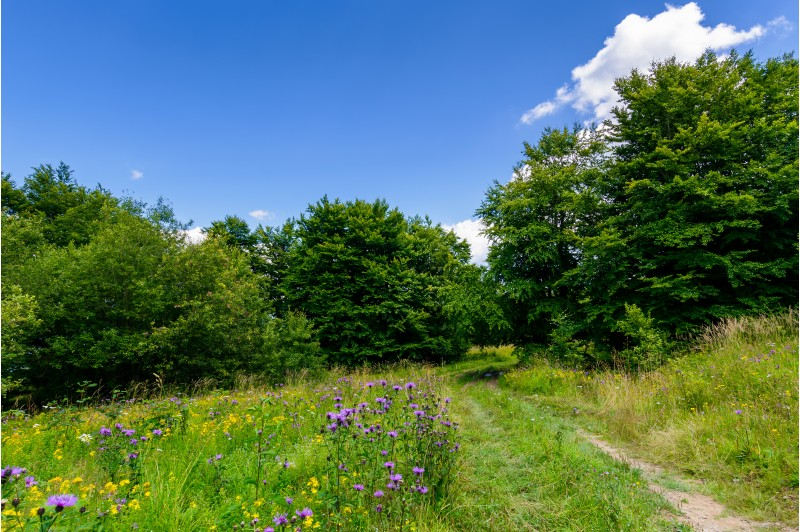 wide path through meadow in to the forest. beautiful summer nature scenery. blue sky with fluffy cloud