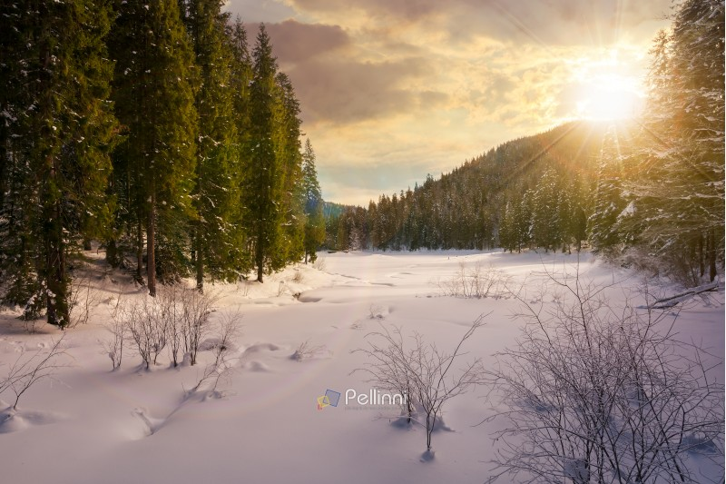 winter forest in mountains at sunset in evening light. tall spruce trees around the snow covered meadow