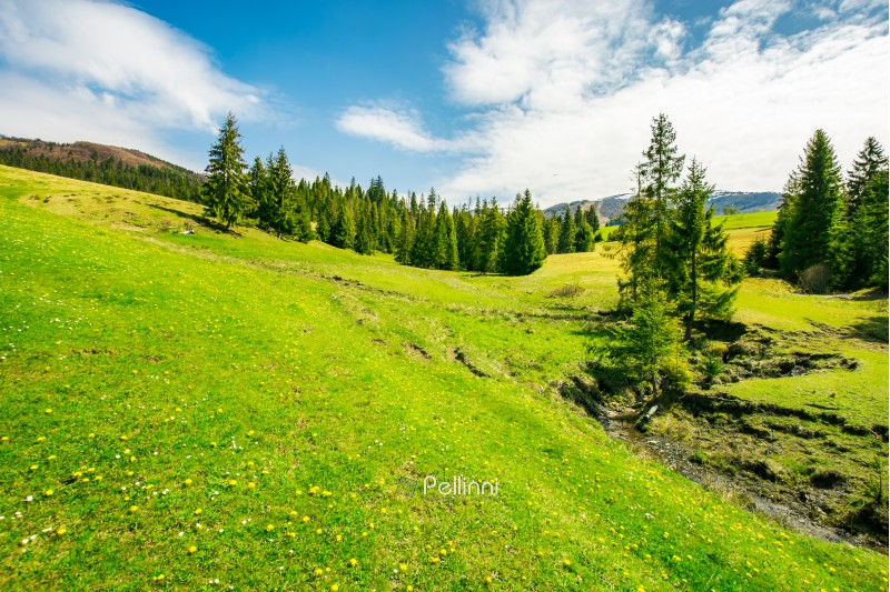 wonderful springtime weather in mountains. spruce trees on a grassy meadow. small brook winding down the hill. wonderful and bright weather